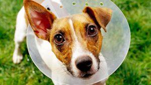 castracion en perros