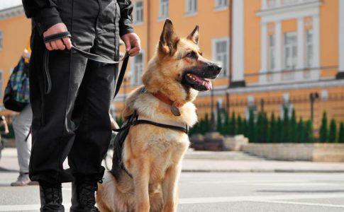 Cómo se entrena a un perro policía