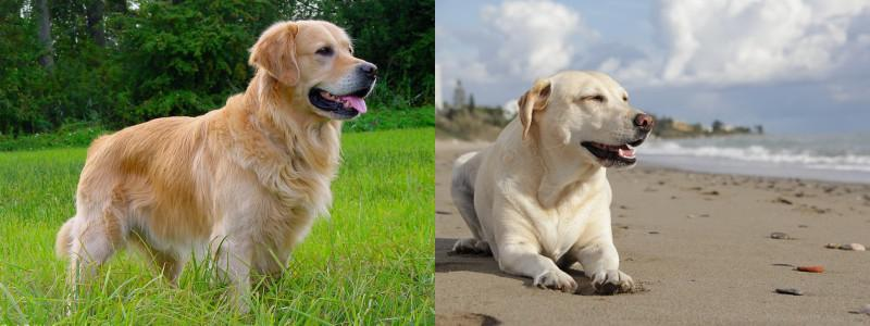 Golden Retriever Vs Labrador Diferencias Entre Golden Retriever Y