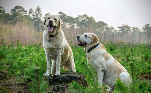 ¿Hasta cuándo es correcto aparear a un perro?