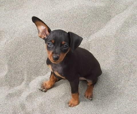 Fotos cachorro pincher enano