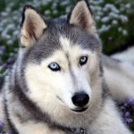 Husky Siberiano vs Malamute de Alaska