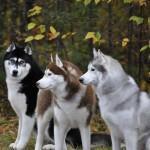Perro Husky Siberiano marrón, gris y negro