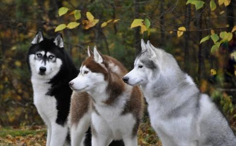 Husky Siberiano vs Labrador   Diferencias entre Husky