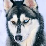 Ojos del Husky siberiano