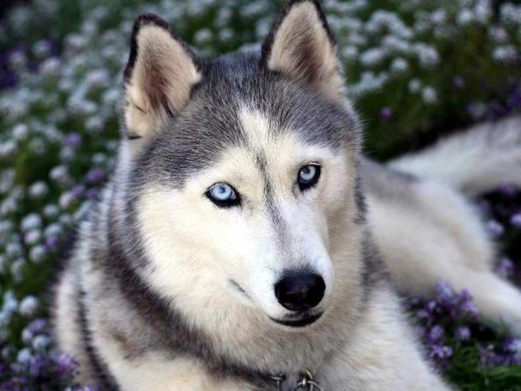 7 Nombres Para Perros Husky Siberiano Nombres De Perros