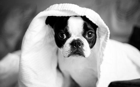 ¿Es normal la incontinencia urinaria del perro tras el parto?