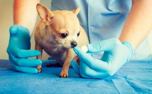Desventajas de esterilizar a un perro