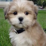 Cachorro de Lhasa Apso de un mes