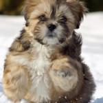 Cachorros de Lhasa Apso