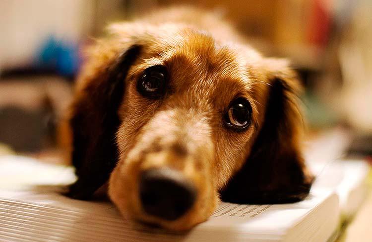 perros que lloran