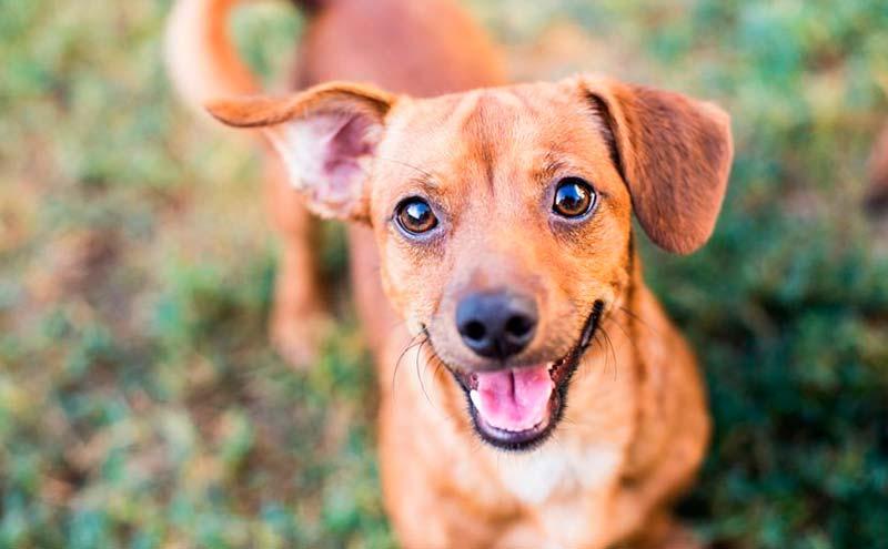 Por qué los perros sin raza son más inteligentes