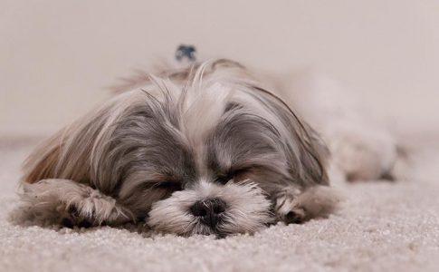 ¿Puede tener un perro un embarazo psicológico?