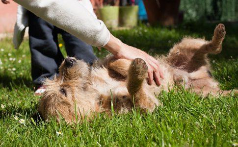 Cómo saber si un perro tiene cosquillas