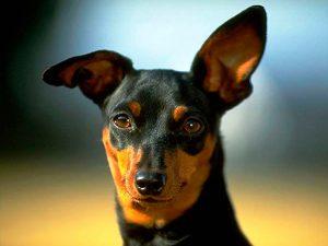 los perros transpiran o sudan