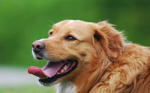 Halitosis canina
