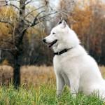 Perro de la raza malamute de Alaska de color blanco