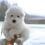 Malamute de alaska blanco de 1 mes