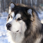 Perro gigante de la raza alaskan malamute