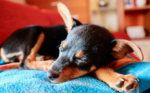 Desarreglos menstruales después del parto del perro