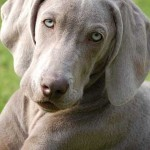 Braco de Weimar vs Labrador Retriever