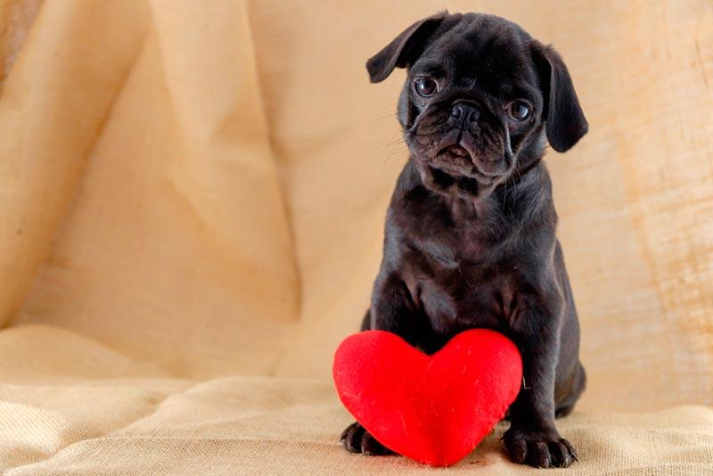 Qué Nombres Para Perros Significan Amor Nombres Para Perros