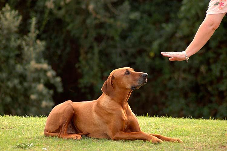 ordenes para entrenar a un perro