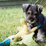 Orejas del Schnauzer miniatura cachorro