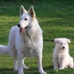 Perro Pastor Alemán color blanco