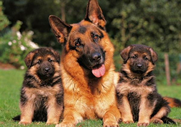 Pastor alemán con cachorros