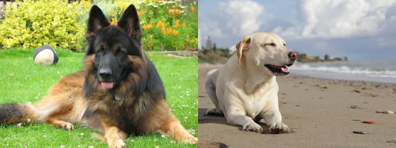 Pastor Alemán Vs Labrador Diferencias Entre Pastor Alemán Y Labrador Retriever