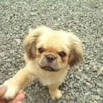 Cachoro pekinés de 4 meses