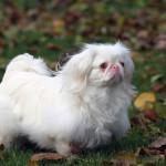 Perro blanco pekinés