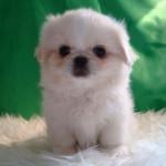 Cachorro de pekinés blanco