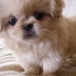 Cachorro pekinés 2 meses