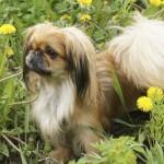 Perro pekinés marrón con el pelaje corto