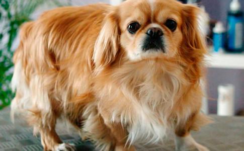 Perro pequinés marrón