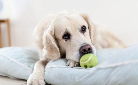 cómo eliminar piojos en perros