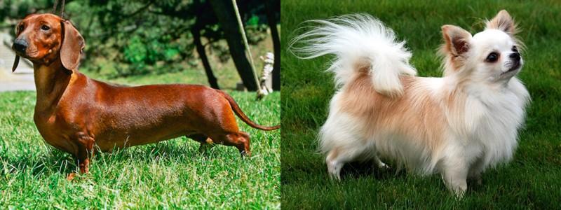 perro salchicha vs chihuahua diferencias entre dachshund