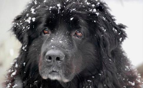 Perro terranova o Newfoundland dog