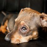 Dieta para perros con vómitos