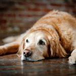 Mi perro viejo llora mucho