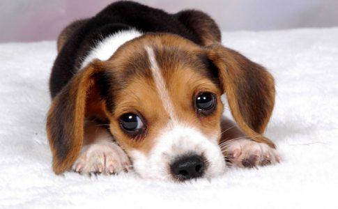 ¿Por qué lloran los perros recién nacidos?
