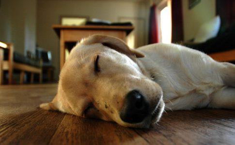 ¿Los perros lloran en sueños?