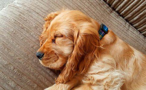 ¿Es normal que los perros tengan infección de orina tras el parto?