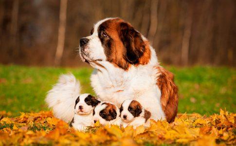 El tapón mucoso en la perras antes del parto