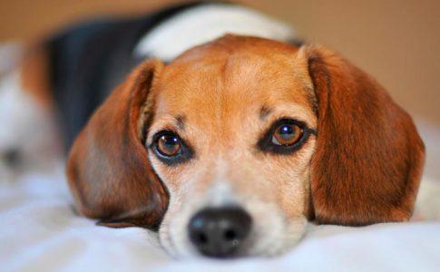 ¿Por qué mi perro me mira fijamente?