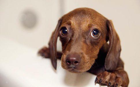 ¿Puedo bañar a mi perro después de vacunarlo?