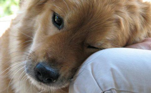 Mi perro apoya su cabeza en mí, ¿qué significa?