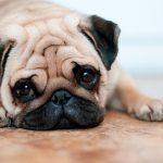 El jadeo como síntoma del parto canino